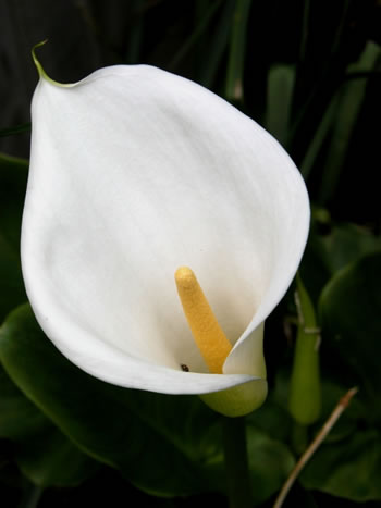 funerallily-1